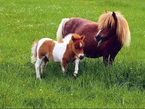 В гости к лошадям-лилипутам