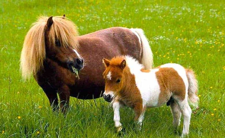 Забронировать экскурсию к лошадям-лилипутам