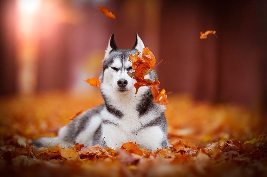 Осень с хаски