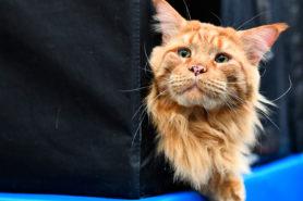Выставка кошек «Кэтсбург» 2019