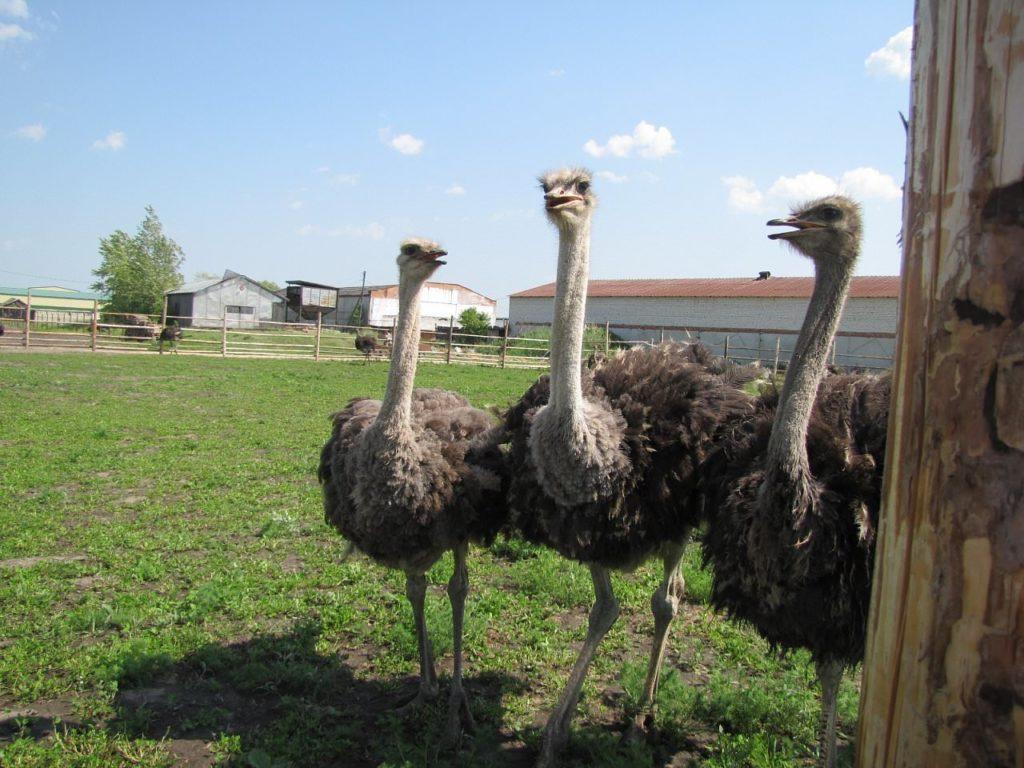 Экскурсии на ферму «Русский страус»
