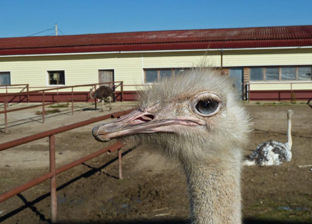 Ферма «Русский страус»
